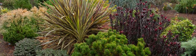 conifers, leucadendron, cordyline