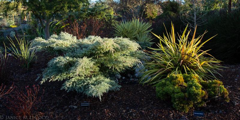 Monterey cypress, Australian plants