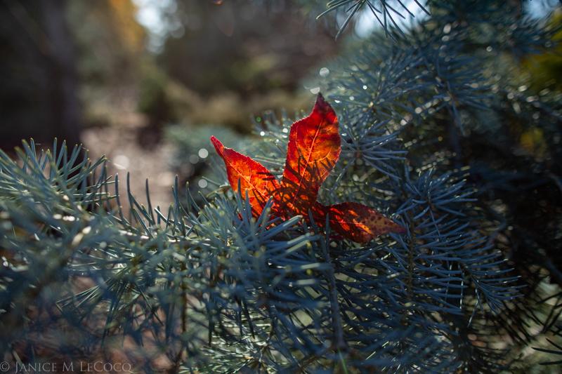 Abies concolor, Liquidambar styraciflua