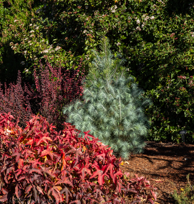 barberry, Sweetgum, big cone pinyon pine tree