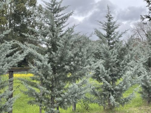 Blue Ice Arizona cypress used as a tall hedge in a Northern California garden