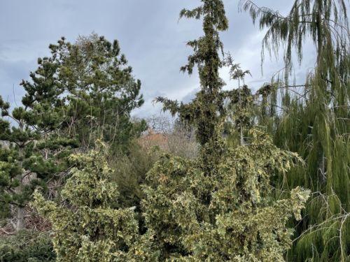 A variegated form of Nootka cypress, 'Sparkling Arrow'