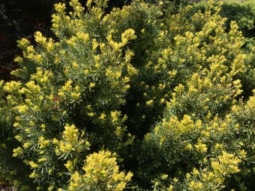 Taxus baccata 'Bright Gold' puts on a show in spring.