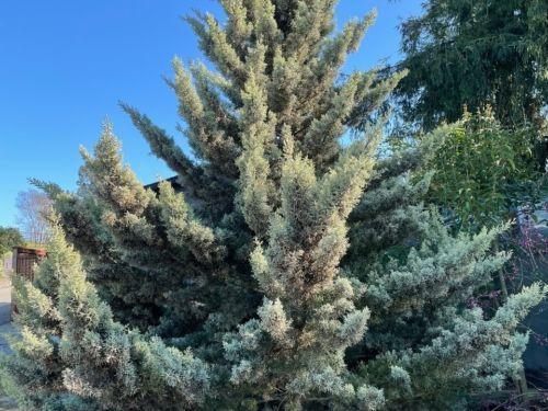 Sulfury Arizona cypress has a most unusual color
