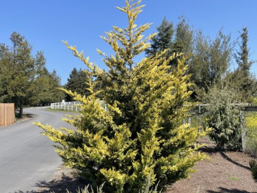 Cupressus × leylandii 'Gold Rider' is widely considered to be one of the best golden conifers