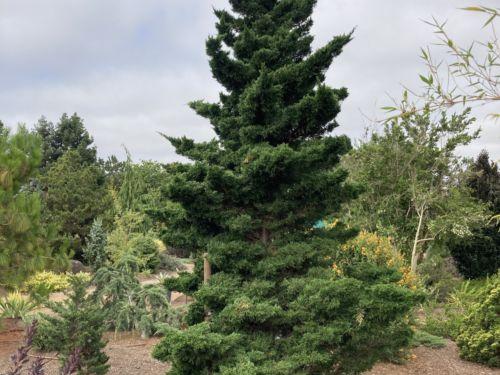 Chandler's Monterey cypress in a Northern California garden