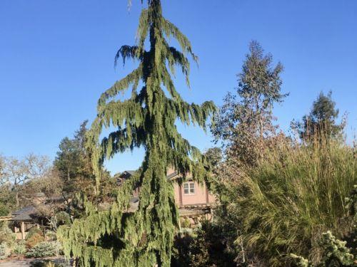 Cupressus nootkatensis 'Green Arrow' (Green Arrow Nootka cypress) in a garden in Northern California