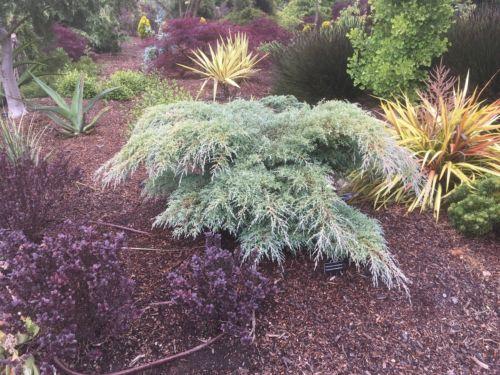 Cupressus macrocarpa 'Greenstead Magnificent' in a Northern California garden