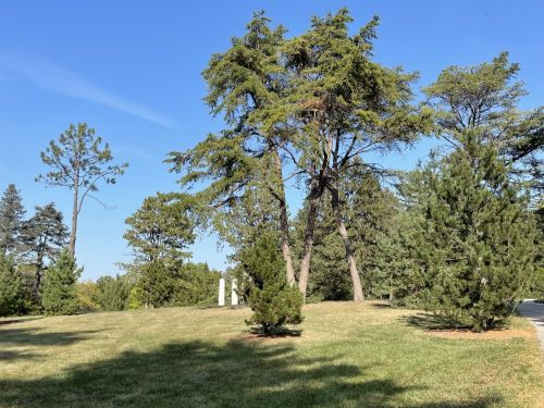 One of the group of mature Pinus virginiana in the conifer collection at the Morton Arboretum
