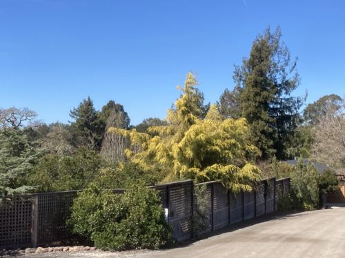 Coneybears' golden cypress in a SF Bay Area garden