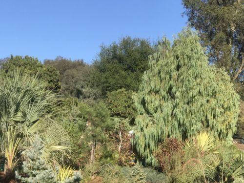 Cupressus cashmeriana in a Mediterranean Zone 9b garden