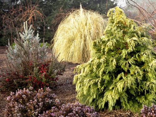 Conifer colors shine in winter