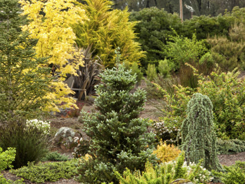 Conifers add year-round structure, color and interest