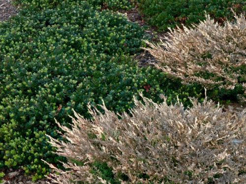 The same group of plants in wintertime. Photo by Janice LeCocq