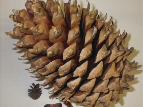 Coulter's pinecone