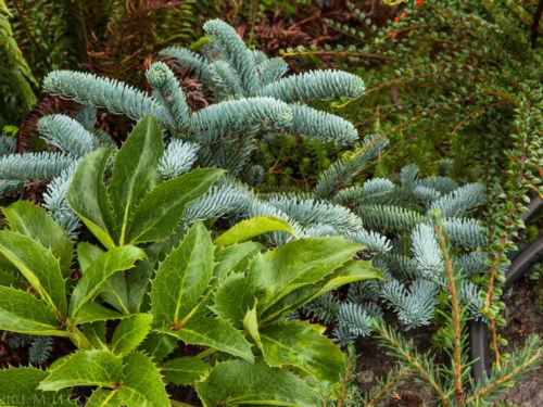 Helleborus argutifolia, Abies procera 'Glauca Prostrata' and Cotoneaster horizontalis