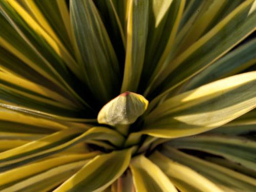 Yucca gloriosa var. recurva 'Walbristar' (bright star yucca)