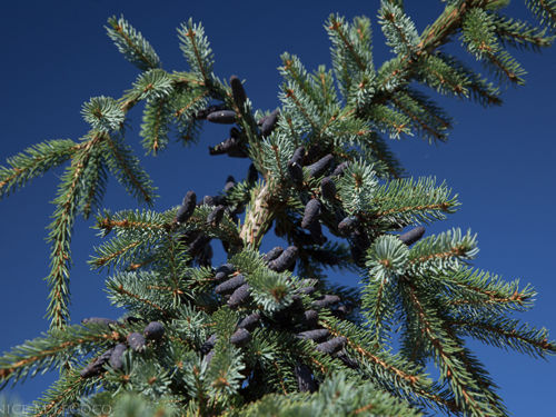 Female cones on Picea omorika 'Pendula Bruns'