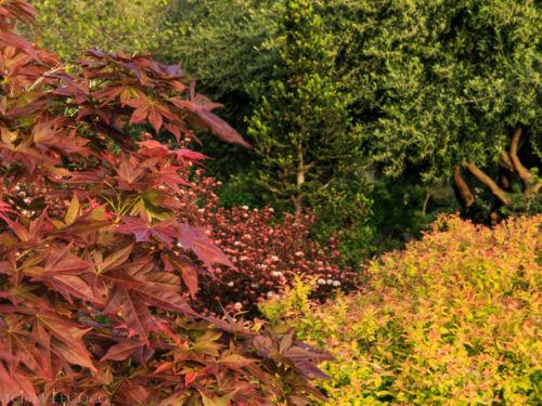 Acer palmatum 'Iijima Sunago', Physocarpus opulifolius 'Mindia' and Spirea japonica
