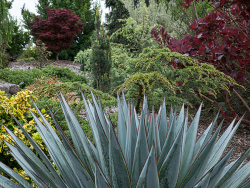 Agave 'Blue Glow' has maroon edges that echo the deep hues of the Cotinus x 'Grace' on the right and the Acer palmatum