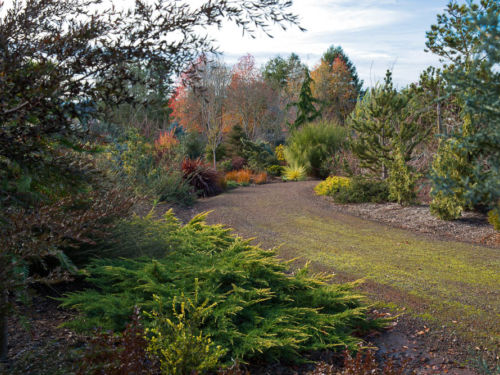 Daub's Frosted juniper is a lovely addition to almost any garden. Photo by Janice LeCocq