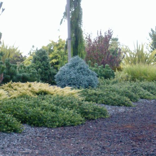 Juniperus horizontalis 'Lime Glow' really does glow!