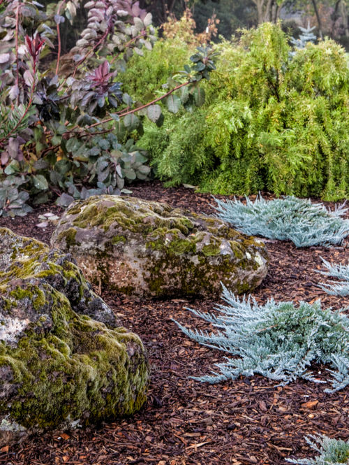 Juniperus horizontalis 'Blue Chip' in winter. Photo by Janice LeCocq