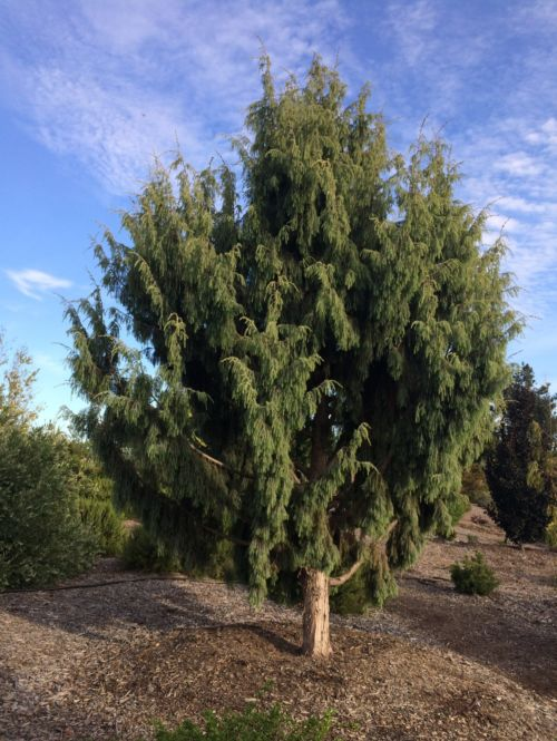 Not all junipers are created equal! Canary Islands juniper is a big tree.