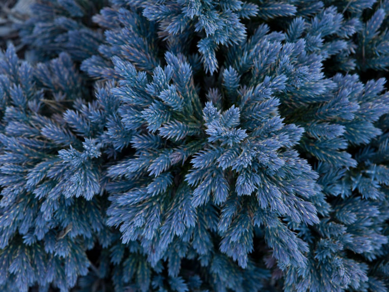Blue Star juniper dazzles with its brilliant color, especially in winter. Photo by Janice LeCocq