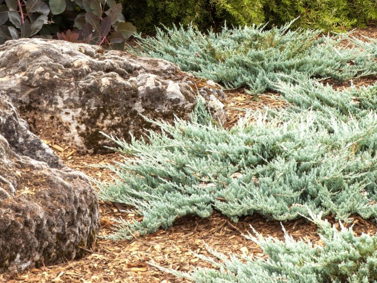 Juniperus horizontalis 'Blue Chip' in summer. Photo by Janice LeCocq