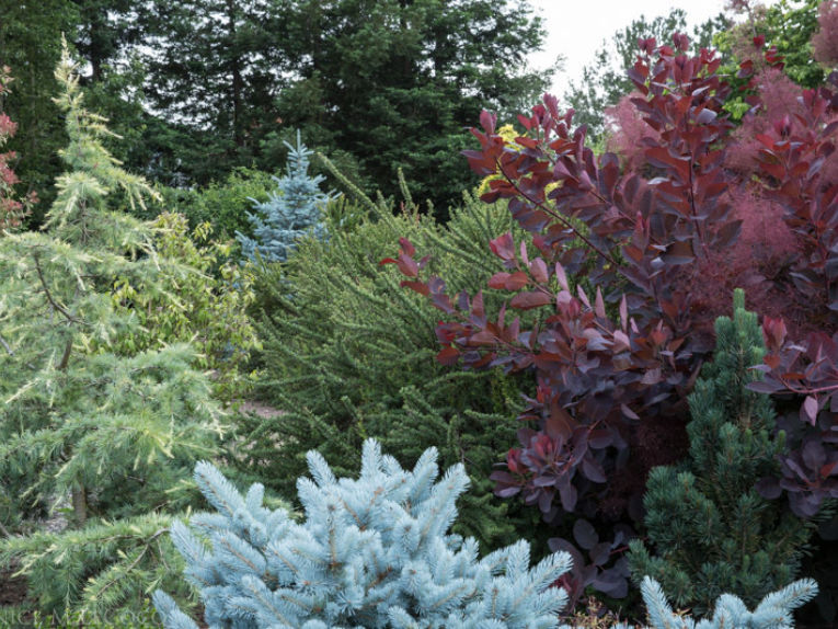 Blue spruces are virtually unmatched in their 'blueness' This photo features two cultivars of Picea pungens