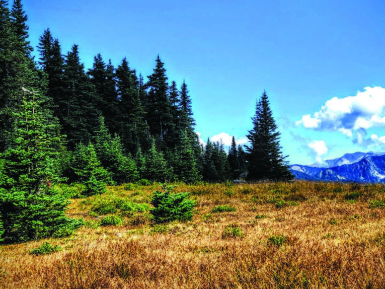 Clusters of conifers contrast with the golden grasslands.