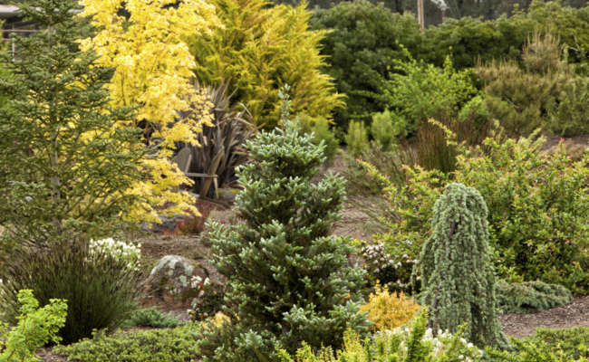 How I fell in love with conifers