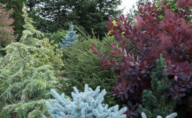 What's Wrong with my Blue Spruce?