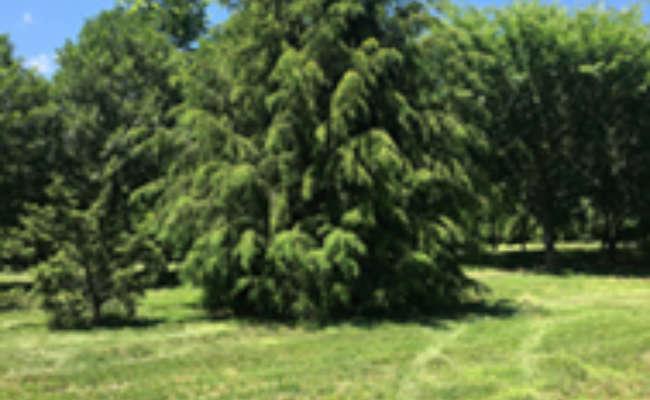 US National Arboretum Announces Adelgid-Resistant Hybrid Hemlock!
