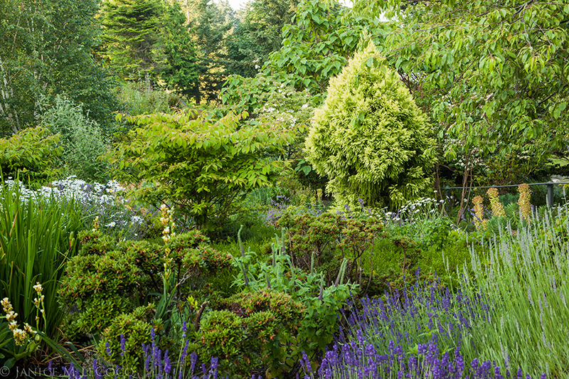 Cryptomeria japonica 'Sekkan', conifers, foliage gardening
