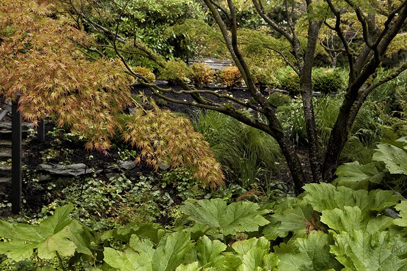 gunnera, Japanese maples
