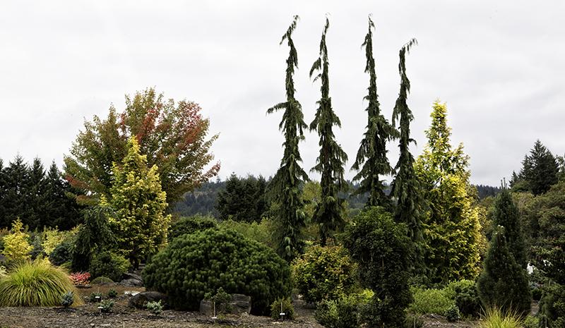 conifers, evergreen plants, Buchholz & Buchholz