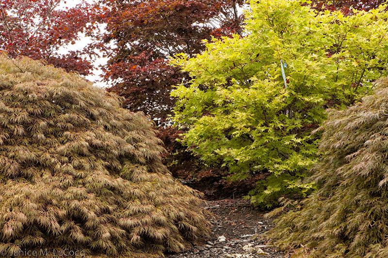 Japanese maples at Buchholz & Buchholz
