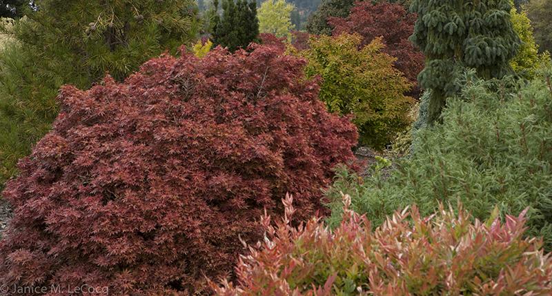 evergreen plants, conifers, foliage plants