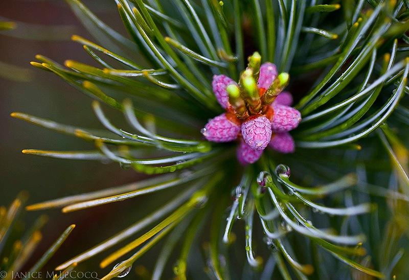 pink cones, pines, year-round interest