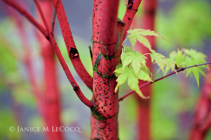 Japanese maple, red twigs, red stems