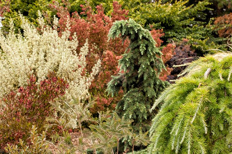 Cedrus deodara 'Divinely Blue', cedar, mixed foliage, colored foliage