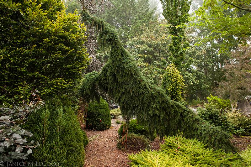conifers, Picea abies 'Pendula', Coenosium Gardens
