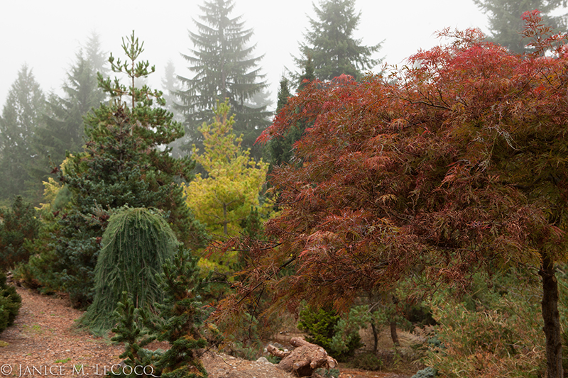 Japanese maples, fall color, conifers, foliage gardening
