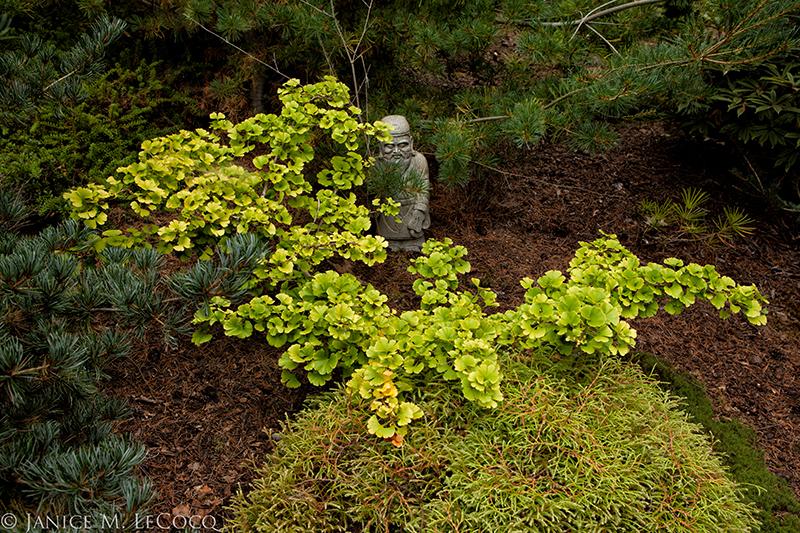 Dwarf ginkgo, foliage gardening, conifers
