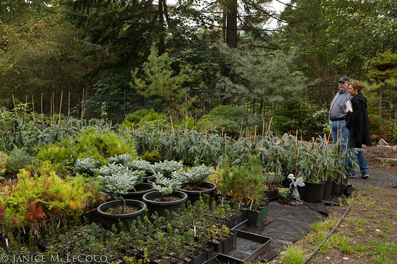 conifers, foliage gardening, evergreens