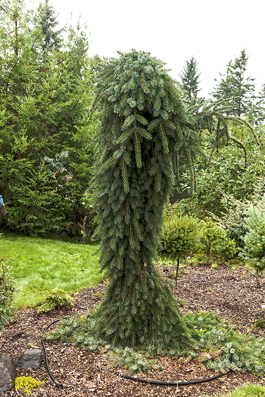 Serbian spruce, foliage gardening