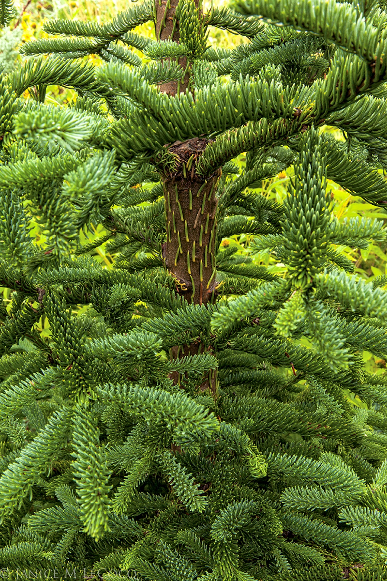 fir, conifer, foliage gardening