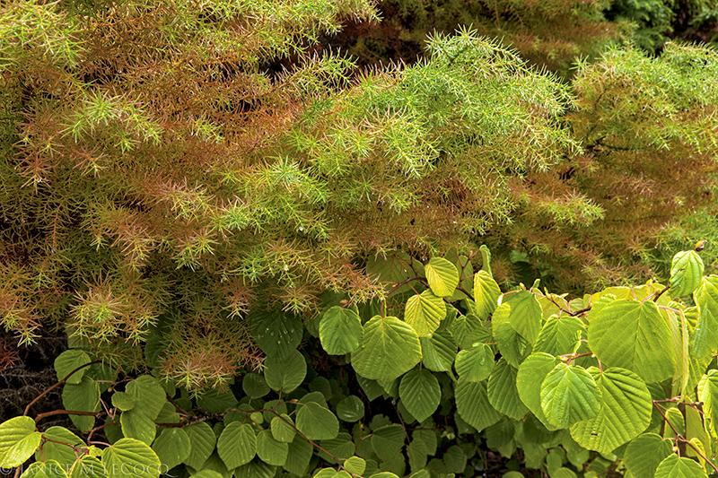 Crytomeria japonica 'Elegans Compacta' and Corylopsis